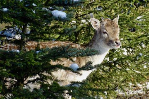 fot. Myszołowy, daniele, zające i inne gatunki fauny online na żywo przez kamery IP w jakości HD